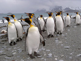 The natives of South Georgia - King Penguins